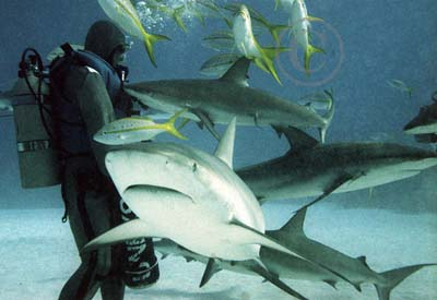 Tiger Shark Facts Survivor For The Est D Baby Sharks Fight Each Other In Womb Winner Will Be Able To Born Alive